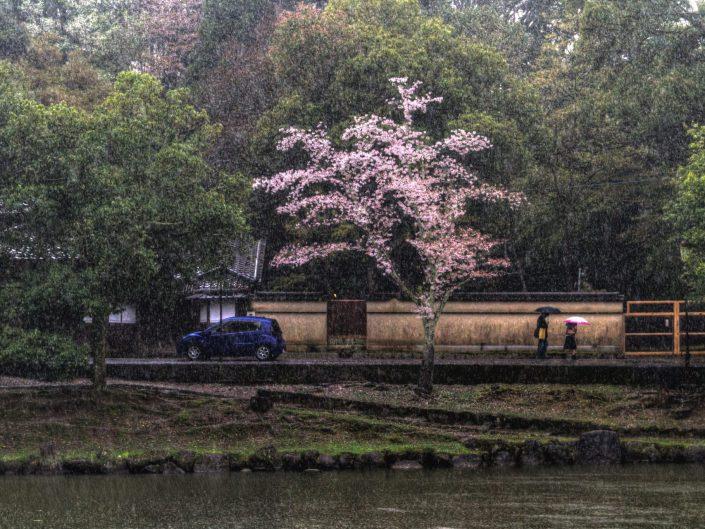Sakura and Rain